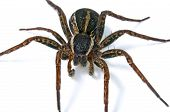 picture of pubescent  - Large spider covered with hairs isolated on white background - JPG