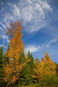 Orange Trees Under Blue September Sky