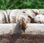 Bee On Birdbath
