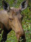 Moose Cow Close Up