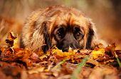 leonberger dog outdoors portrait