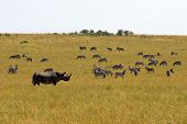 Black rhino and zebras