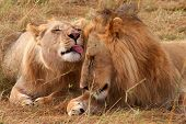 Male lion and lioness