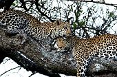 Two leopards on a tree