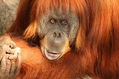 stock photo of memphis tennessee  - An Orangutan at the Memphis Tennessee zoo - JPG