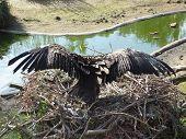 European Black Vulture - Aegypius Monachus