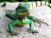 Iguana Full On