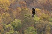 Bald Eagle Autumn Flight