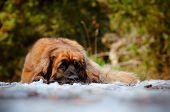 huge red leonberger dog resting outdoors