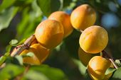 Apricots On The Tree.