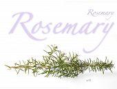 Flowering Rosemary Branch
