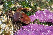Flattop Crab with an Ochre Star