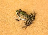 big green frog sit on wet sand