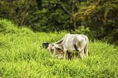 foto of brahma-bull  - Young brahma bull grazing in a meadow in Costa Rica - JPG