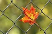 foto of caught  - A fallen autumn leaf caught on a wire fence - JPG