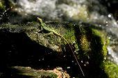 Lizard In Waterfall