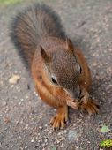 stock photo of ground nut  - red squirrel sitting on ground and eating nut - JPG