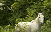 stock photo of workhorses  - wild white horse looking curiously at the camera - JPG