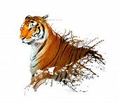splash de tigre