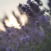 stock photo of differential  - Beautiful differential focus technique giving shallow depth of field blurred bokeh sun effect in lavender landscape