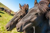 stock photo of horse-breeding  - Icelandic horses are rather small and very beautiful - JPG