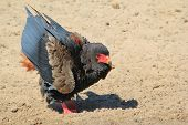 Bateleur Eagle - Wild Bird Background from Africa - In the starting blocks of anger