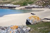Oystercatcher On A Rock At Luskentyre Beach, Isle Of Harris
