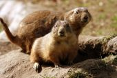 cute prarie dogs
