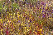 Utricularia Delphinoides And Grass Flower