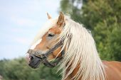 Beautiful Palomino Draught Horse Portrait
