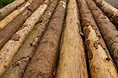 Row of Tree Trunks