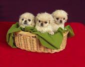 Three Pekinese Puppies