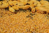 Corn Ear And Seeds
