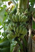 pic of bunch bananas  - Banana tree with banana bunch in Bangkok suburb - JPG