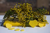 stock photo of mimosa  - A mimosa branch for International Woman - JPG