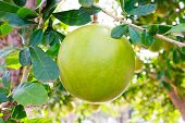 picture of calabash  - Calabash Tree and Fruit  - JPG