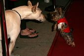 Phoebe Price's dog Henry and friend at the first annual Beverly Hills Mutt Club Fashion and Halloween Show, Beverly Hills Mutt Club, Beverly Hills, CA 10-22-06