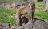 Mother And Baby Macaque (snow) Monkey's In Soft Focus