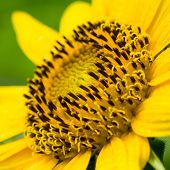 picture of dwarf  - Dwarf Sunflower or Helianthus annuus L - JPG