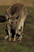 Mother and Baby Roo
