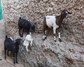 stock photo of ethiopia  - Goats stand on vertical wall of the house in ancient city of Jugol - JPG