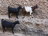 pic of ethiopia  - Goats stand on vertical wall of the house in ancient city of Jugol - JPG