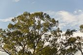 picture of eucalyptus trees  - Large eucalyptus trees - JPG