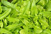Close-up Of Green, Fresh Oakleaf Lettuce.