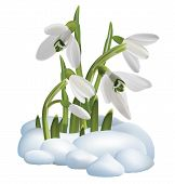 Spring Snowdrop Flowers On A Snow. Vector Illustration