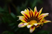 Yellow Gazania Flower Macro Photo