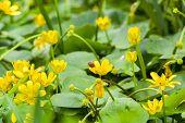 Ladybug On Flower Marsh Marigold