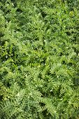 Green Plants Chickpea