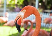 picture of pink flamingos  - The close view of pink flamingo in Nassau city botanical garden  - JPG