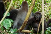 foto of lowlands  - Western Lowland Gorilla adult male  - JPG